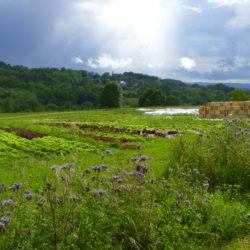 Salades et bande fleurie (Phacélie)