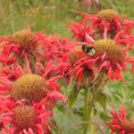 Fleurs de Monarde avec bourdon