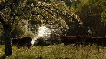 Vaches limousines au pré
