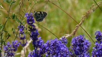 Papillon dans Lavande