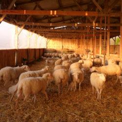 Brebis à la bergerie