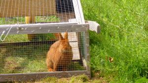 Cage mobile pour lapin... Tondeuse naturelle !
