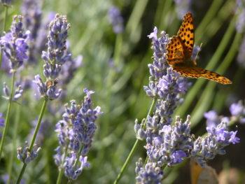 Papillon dans fleurs de Lavande