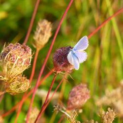 Papillon sur Carotte sauvage