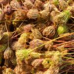 Récolte de Carotte sauvage