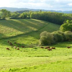 Pâturages vaches