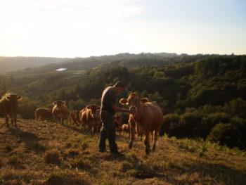 Vaches limousines au pré et éleveur