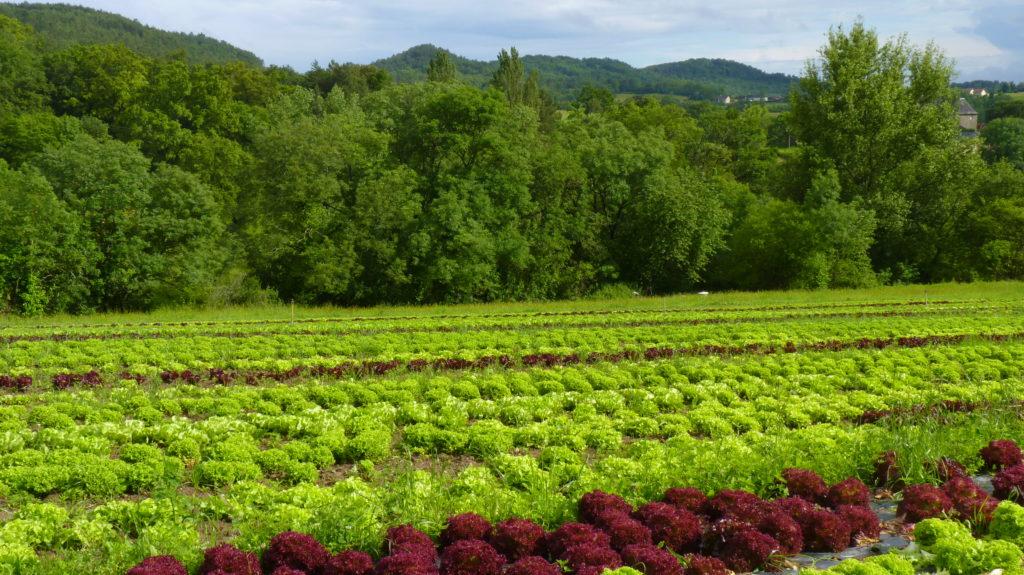 Salades de plein champ